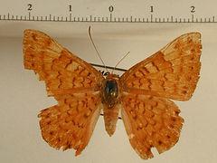 Emesis mandana mâle
