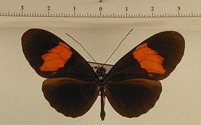 Heliconius erato hydara mâle