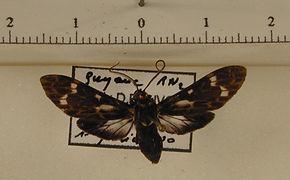 Heliura meridionalis mâle