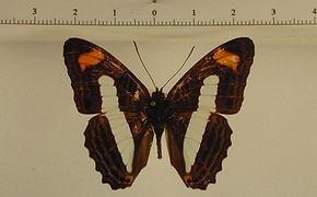 Adelpha iphiclus mâle
