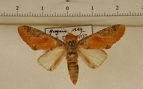 Disphragis notabilis mâle