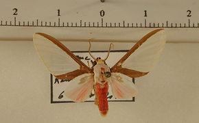 Eupsodosoma larissa mâle