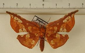 Belonoptera sanguinea mâle