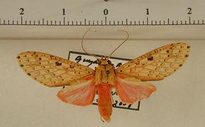 Haemaphlebiella strigata mâle