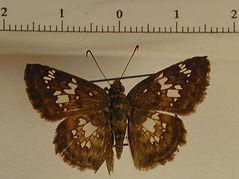 Xenophanes tryxus mâle