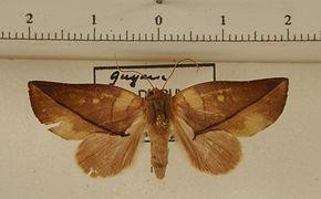 Apela lilacina mâle