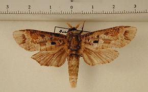 Cossula arpi mâle