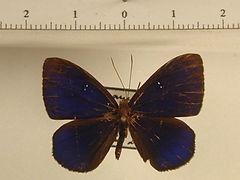 Mesosemia macella mâle