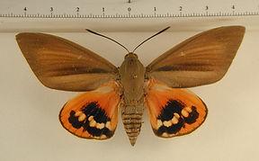 Paysandisia archon mâle