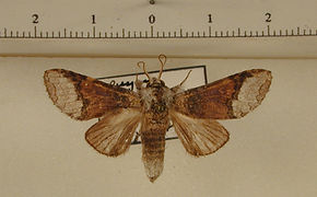 Hemipecteros albifer mâle
