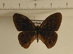 Euptychia sp. mâle