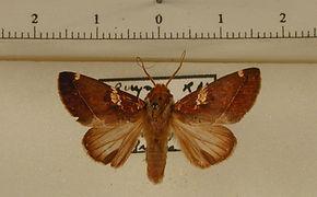 Hemiceras gortynoides mâle