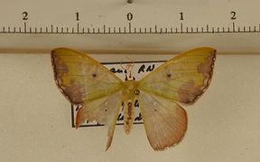 Oospila violacea mâle