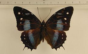 Baeotus japetus mâle