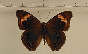 Junonia litoralis femelle