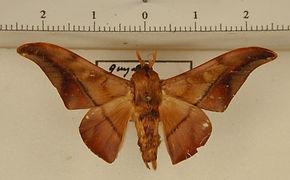 Cicinnus anysia mâle