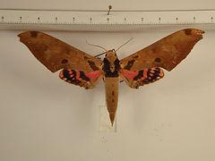 Adhemarius daphne daphne mâle