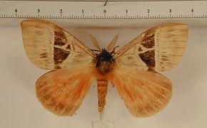 Dirphia acidalia mâle