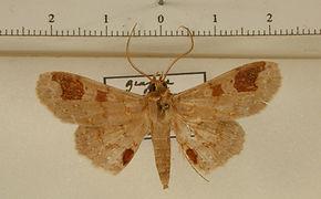 Triommatodes mapiriensis mâle