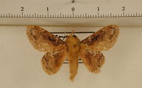 Euglyphis claudia mâle