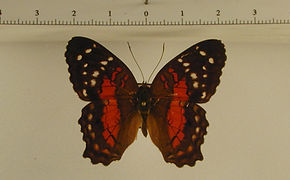 Anartia amathea amathea mâle