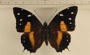 Baeotus deucalion mâle