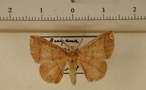 Perissopteryx submarginata mâle