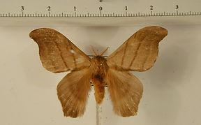 Hylesia gyrex mâle