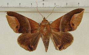 Parachaea macaria mâle