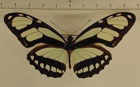 Philaethria dido mâle
