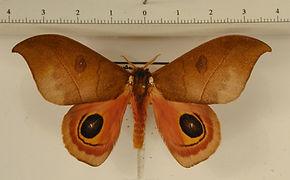 Automeris arminia mâle
