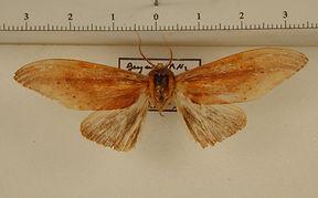 Lirimiris elongata mâle