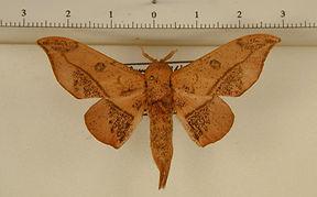 Cicinnus candacus mâle