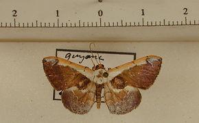 Gyostega floccosa mâle