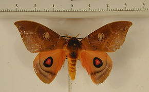 Automerina beneluzi mâle