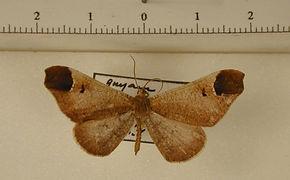 Macrosoma bahiata mâle