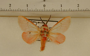 Trosia nigropunctigera mâle