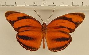 Dryadula phaetusa mâle