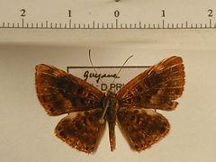 Synargis abaris mâle