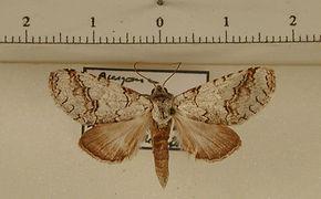 Sericochroa nitida mâle