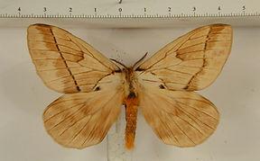 Pseudodirphia obliqua mâle
