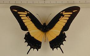 Heraclides androgeus androgeus mâle