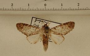 Rifargia davidsoni mâle