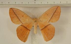 Lonomia camox mâle