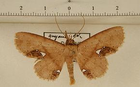 Antiblemma calais mâle