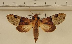 Nystalea aequipars mâle