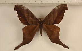 Paradaemonia samba mâle