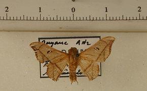 Cicinnus gentilis mâle