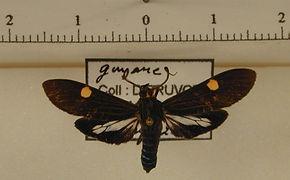 Aclytia heber mâle