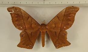 Arsenura albopicta mâle